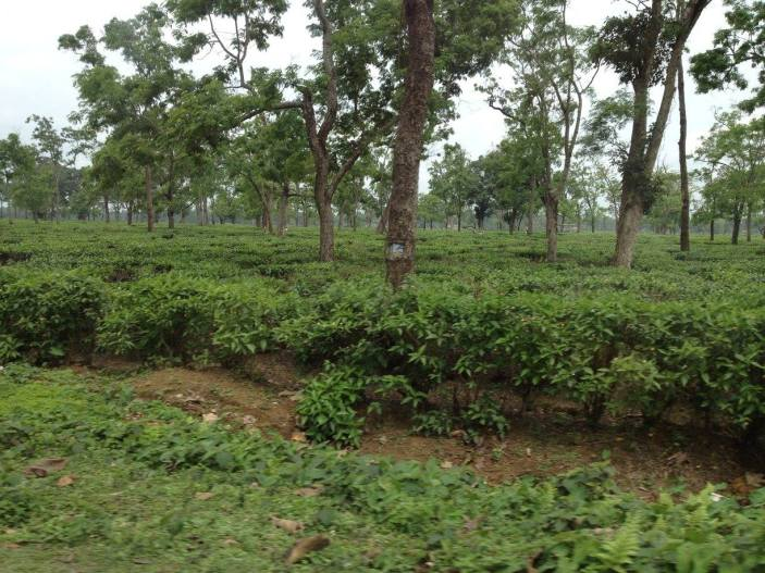 Tea gardens near Dibrugarh