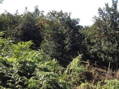 Orange tree groves in the wild