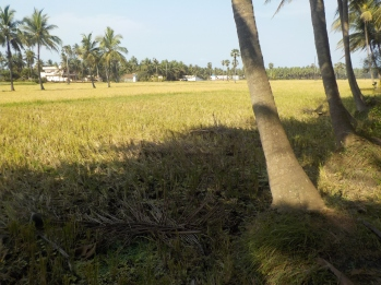 Fields and Coconut Groves