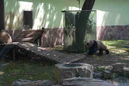 Pandas at the Shanghai Zoo
