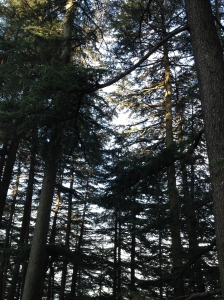 Ancient trees in Chail