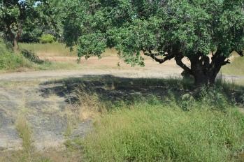 Lion Behind tree in Gir