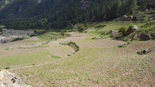 Potato Fields with walkways in Chitkul