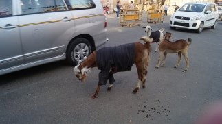 goats keeping warm in jaipur