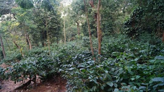 Ananthagiri Coffee Plantation near Araku