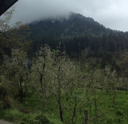 Apple orchard in Naggar