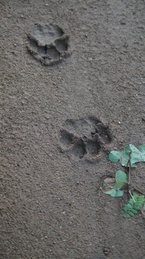 Closest we got to a big cat at Zone A Nagarahole Kabini