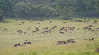Deer and Monkeys snacking on tender grass in Zone B at Nagarahole