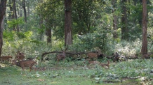 Deer inside Zone B at Nagarahole