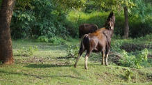 Indian Gaur snacking Zone B at Nagarahole