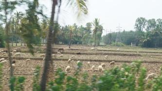 Mandya Goats on the way to Somanathpur