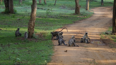 Monkey council at Zone B in Nagarahole Tiger Reserve