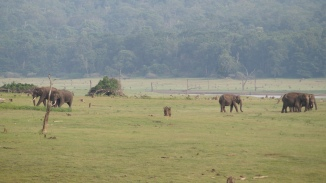 Snacking elephants on the banks of Kabini River Zone B