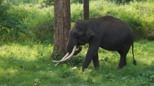 Snacking tusker by the side of the road at Nagarahole