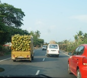 Trucks carrying freshly harvested coconuts to the market