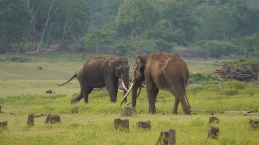 Tuskers at the banks of Kabini Zone B Nagarahole Tiger Reserve