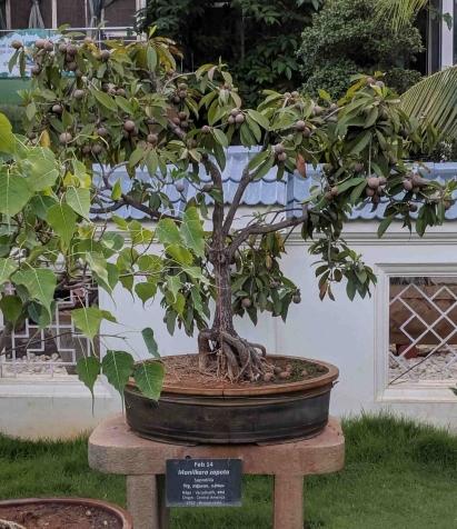 A Bonsai Sapota tree bursting with fruit... beautiful sight indeed!